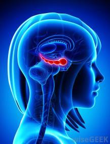 hippocampus shown in brain